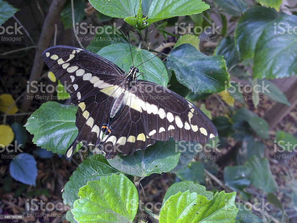 Giant Swallowtail Butterfly (Papilio cresphontes) royalty-free stock photo