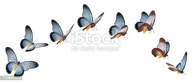 Giant swallowtail butterfly (Papilio Zalmoxis) in various flying positions isolated on white