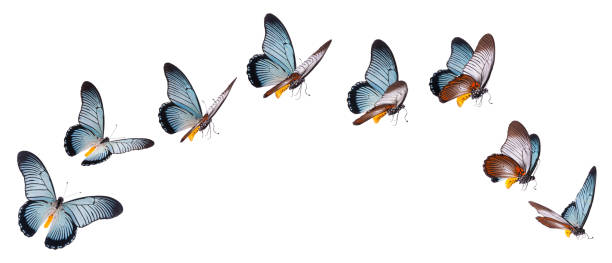 Giant swallowtail butterfly set isolated on white picture id1128053925?b=1&k=6&m=1128053925&s=612x612&w=0&h=vmyl lygp0l1vwcpyglj vrkt6eplao7cg a u8zh8c=