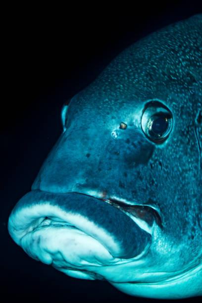giant sweetlips fish stock photo