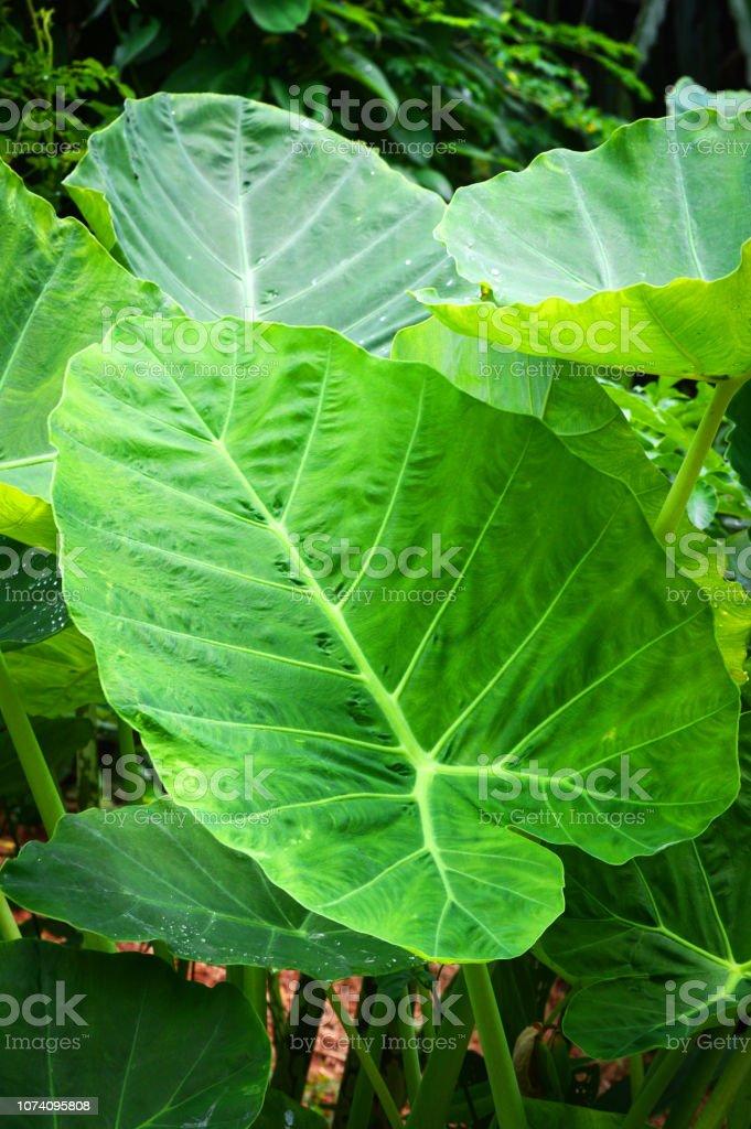 taro géant feuille araceae / oreille feuille d'éléphant (Alocasia Indica) - Photo