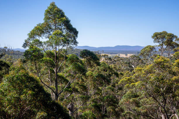 A giant tingle trees landscape from a Tree Top Walk bridge in Walpole-Nornalup National Park, Western Australia stock photo