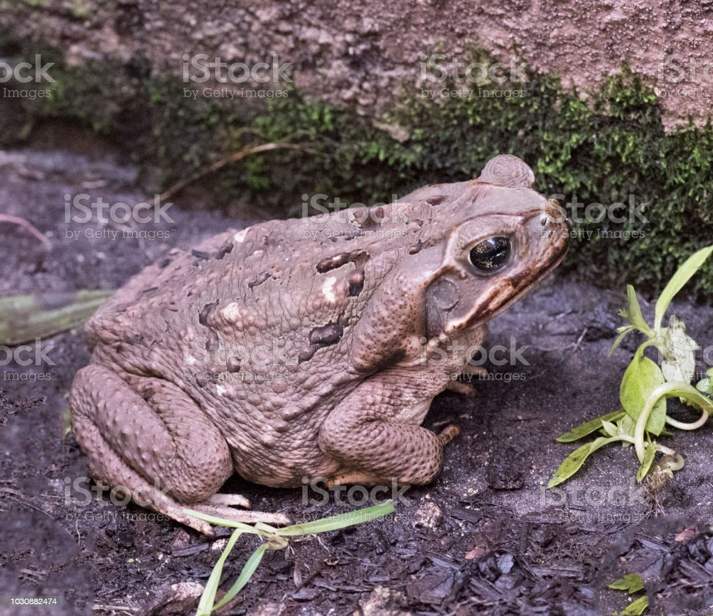 Giant Toad Invades South Florida Yard stock photo