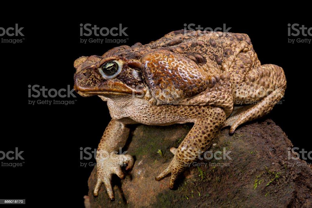 Giant toad, Rhinella marina stock photo