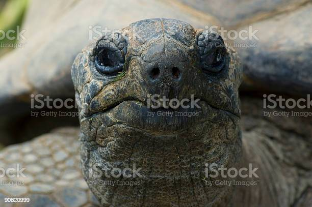 Giant tortois looking at you sharp on the nose picture id90820999?b=1&k=6&m=90820999&s=612x612&h=t 7t8wu tu94jsdy6egufd0s0lr 7fg7mewb nky4v8=