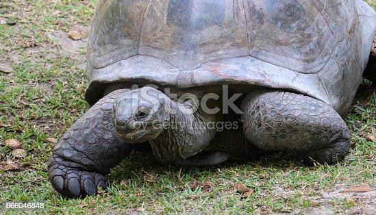 istock Giant tortoise Aldabra portrait. Seychelles islands 866046848