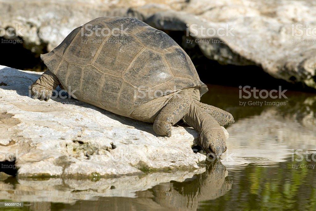 giant tortoise drinking royalty-free stock photo