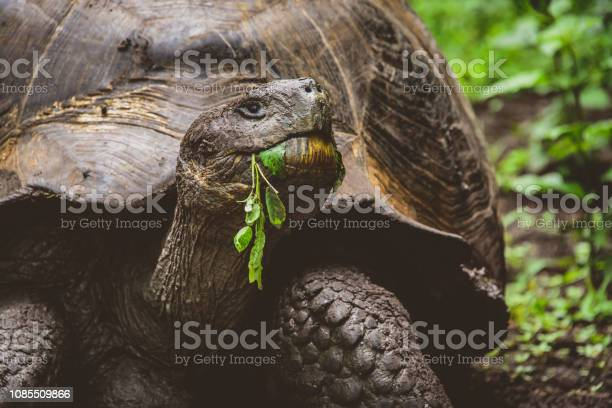 Giant tortoise enjoying his salad galapagos picture id1085509866?b=1&k=6&m=1085509866&s=612x612&h=s6nlah dzqirezab8daoffunbeaoz nyaxwrtpsafl0=