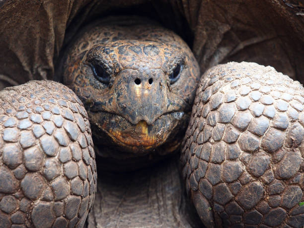 Giant Tortoise Face Close up stock photo