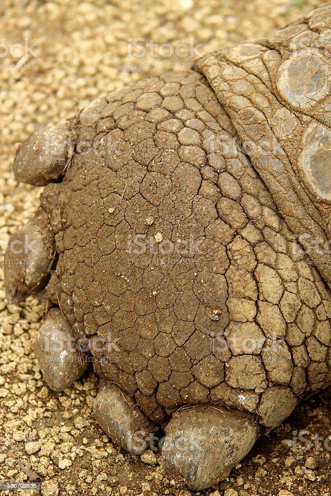Giant tortoise foot royalty-free stock photo
