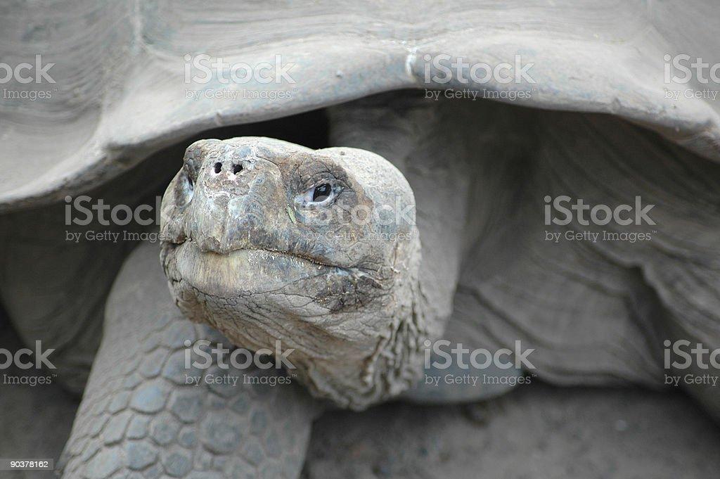 giant tortoise, Geochelone elephantopus stock photo