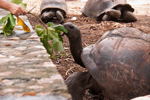 Riesenschildkröte mit Mittagessen – Foto