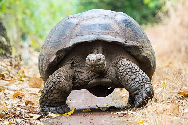 Giant tortoise in El Chato Tortoise Reserve, Galapagos islands (Ecuador) stock photo