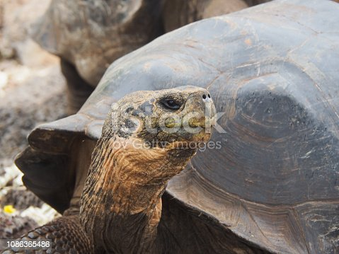 Giant tortoise in the Galapagos Islands, Ecuador: travel and tourism image