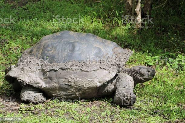 Giant tortoise in the galapagos islands in ecuador picture id1196342049?b=1&k=6&m=1196342049&s=612x612&h=17f5j0lz4aogadlhega l40awvshvelxgxv geajxuy=