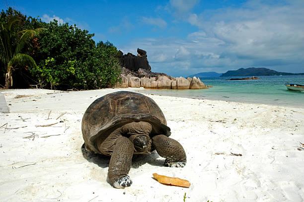 코끼리거북 해변의 - 세이셸 뉴스 사진 이미지