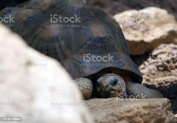 Giant tortoise picture id1076740864?b=1&k=6&m=1076740864&s=612x612&h=ot6ya5svrsn8w assheuud513ebxme6z 5lpbfzul8u=