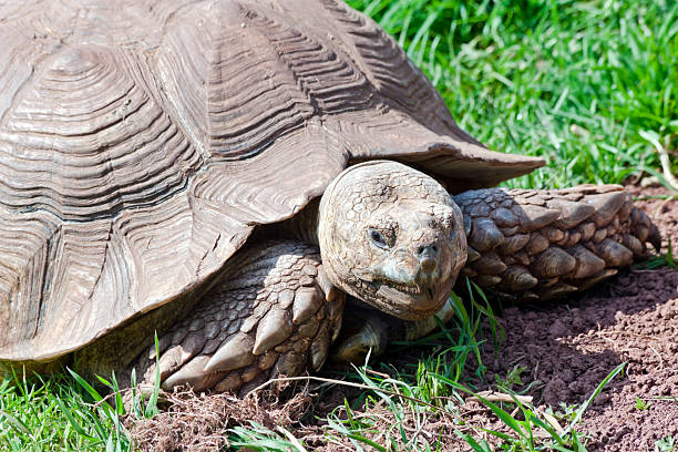 giant tortoise - dawdle stock pictures, royalty-free photos & images