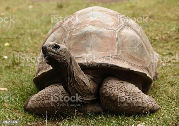 Giant tortoise picture id156296697?b=1&k=6&m=156296697&s=612x612&h=4mqp7ttcba8bvoaswiswyzaw57dbpltz pppkos1fi8=