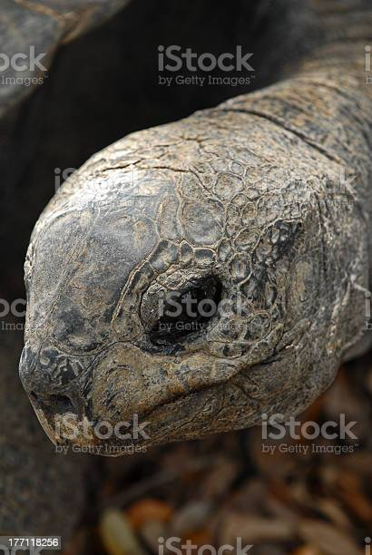 Giant tortoise picture id177118256?b=1&k=6&m=177118256&s=612x612&h=yqmq686v6fnki a94i1q7uhqjl2jd1c8 fcrrt5k7iq=