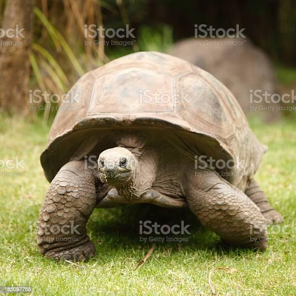 Giant tortoise picture id185097755?b=1&k=6&m=185097755&s=612x612&h=x mzb5myhchhosd pmv7sd1nm1t16j9jfsurc90i7 w=