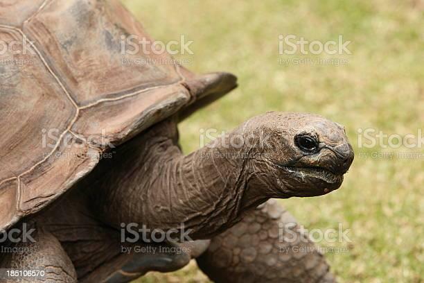 Giant tortoise picture id185106570?b=1&k=6&m=185106570&s=612x612&h=ti3rshdfjenovqvvjyn4ncda2vqendm7tcy3syb g8q=