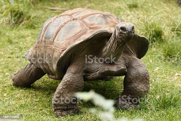 Giant tortoise picture id185110980?b=1&k=6&m=185110980&s=612x612&h=azrq78glrukymappdlcx2vwxmuvvjgn2t91almkrgjk=