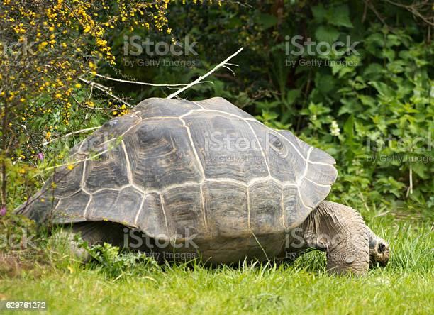Giant tortoise picture id629761272?b=1&k=6&m=629761272&s=612x612&h=e65ca5dsgyg 7qgl6mwieytmgko27agpxzvomhwcnrg=