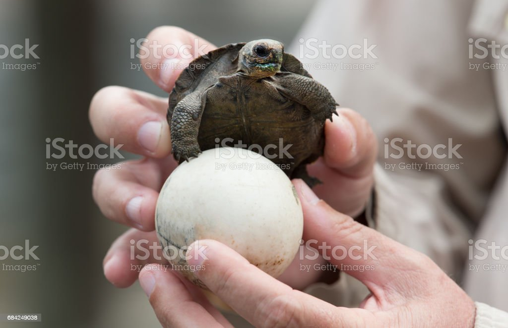 Giant Tortoise royalty-free stock photo