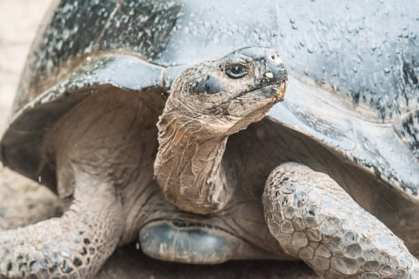 giant tortoise - dally stock pictures, royalty-free photos & images