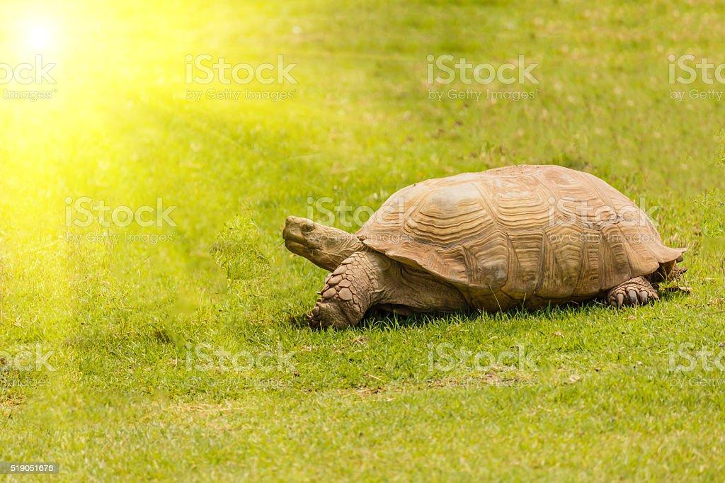 giant tortoise resting in sun light stock photo