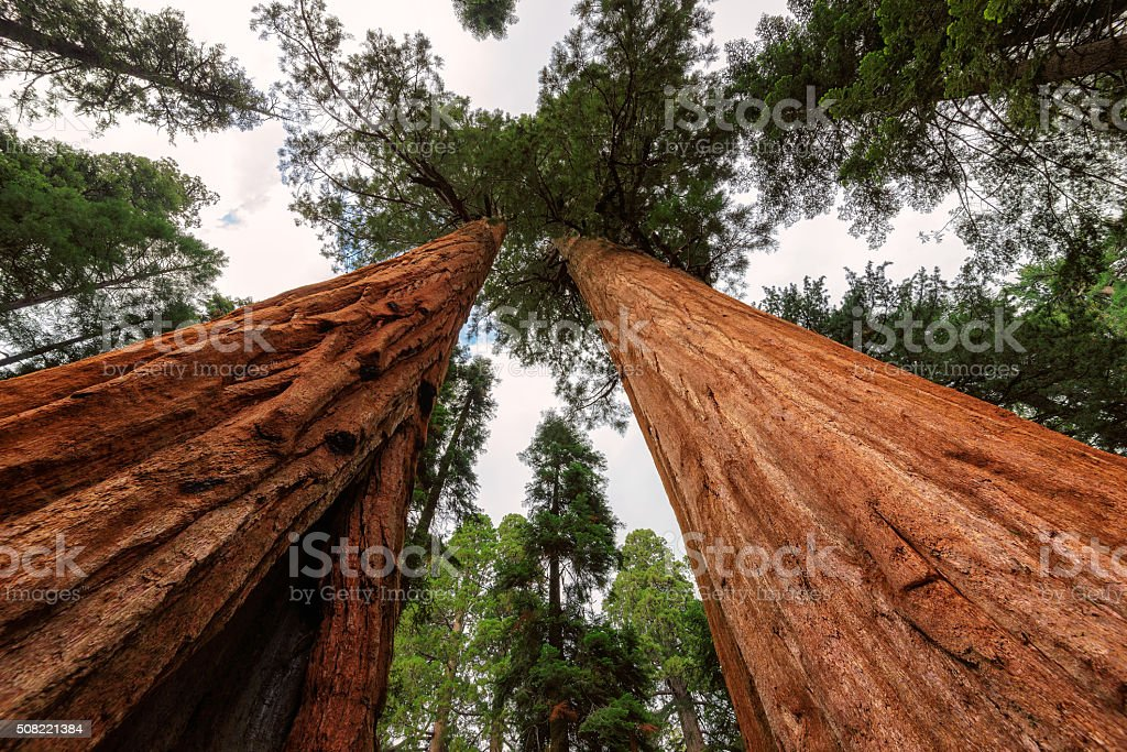 Giant tree closeup in Sequoia National Park stock photo