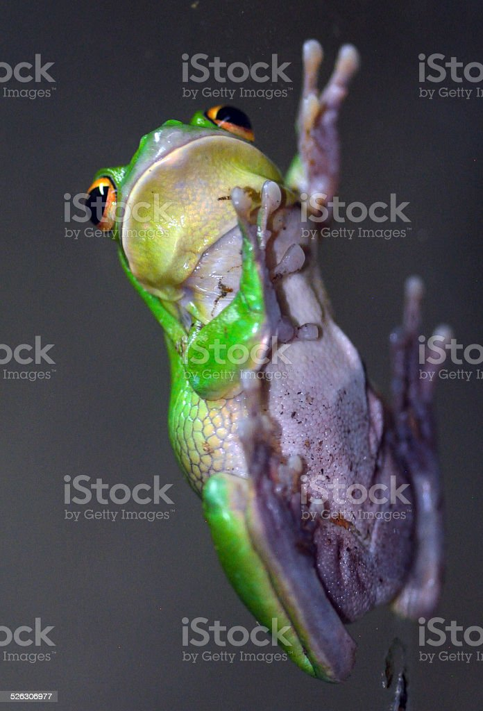 Giant tree frog stock photo