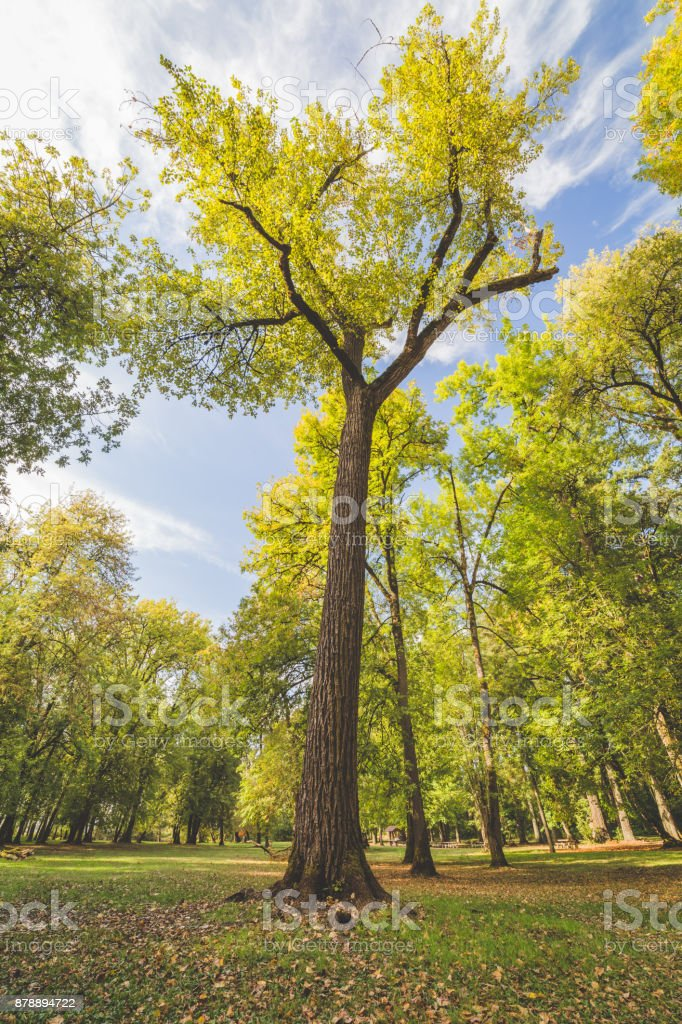 Giant Tree in Forest Park stock photo