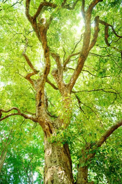 giant tree in the forest. - 介護 zdjęcia i obrazy z banku zdjęć