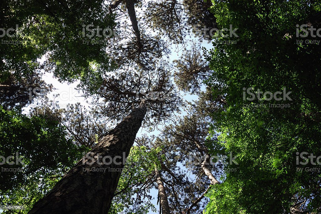 Giant trees royalty-free stock photo