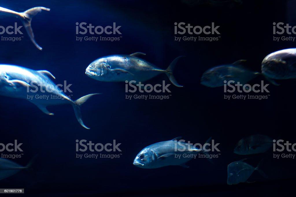 Giant trevally swimming stock photo