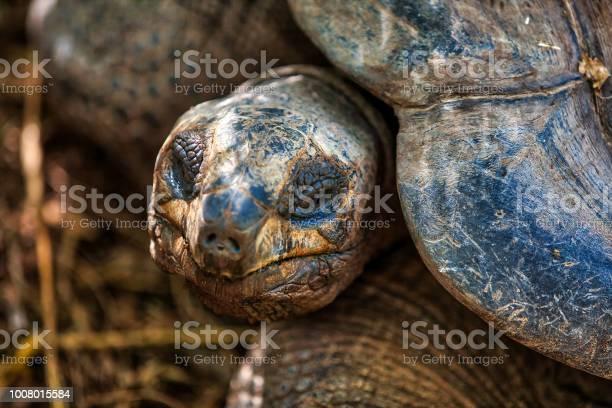 Giant turtle at wild smiling picture id1008015584?b=1&k=6&m=1008015584&s=612x612&h=boscnutz vnsvihg4o6nwqhvqozsegzlriphg6snlna=
