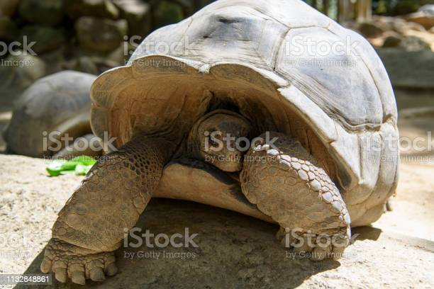 Giant turtle hidin in its shell picture id1132848861?b=1&k=6&m=1132848861&s=612x612&h=ffxzsimcxlp2yii1rwiond7vvapxfkdupr9bmwvzpn4=