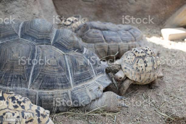 Giant turtle in the zoo park picture id1155868777?b=1&k=6&m=1155868777&s=612x612&h=c10x of 3u94burhdq 725evlmanq7phvczpweymsfu=