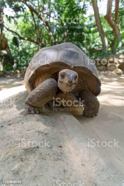 Giant turtle picture id1132848742?b=1&k=6&m=1132848742&s=612x612&h=hrqrdd0 qvogv azjijdzhjpnizlpn5qz1l3ienzkla=