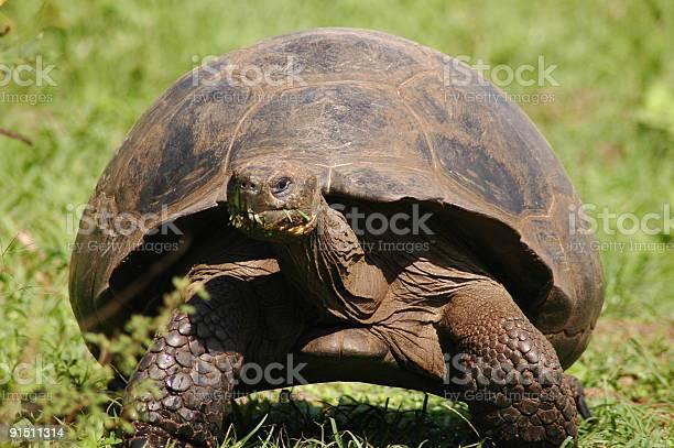 Giant turtle picture id91511314?b=1&k=6&m=91511314&s=612x612&h=jjb7esg5z6o0xhxgj 8e89fv wm5l4njfmb v6b3dcg=