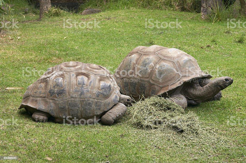 Große Schildkröten Lizenzfreies stock-foto