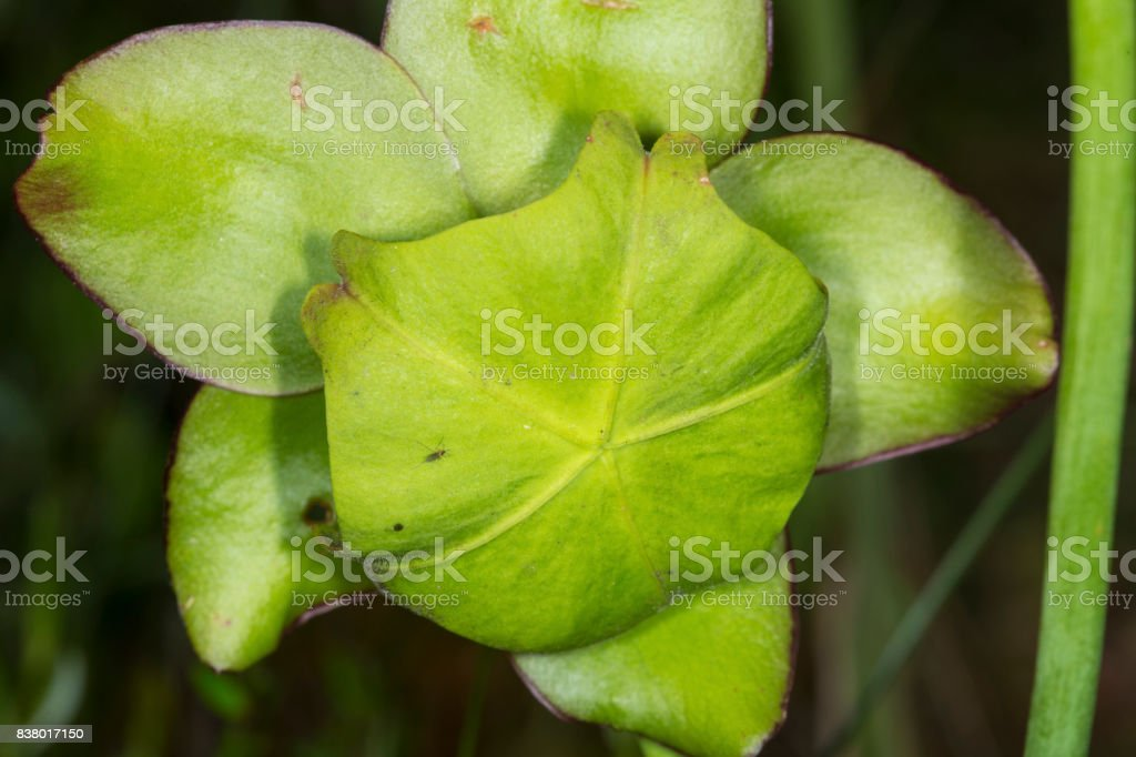 Giant umbrella stigma of a pitcher plant flower, New Hampshire. stock photo