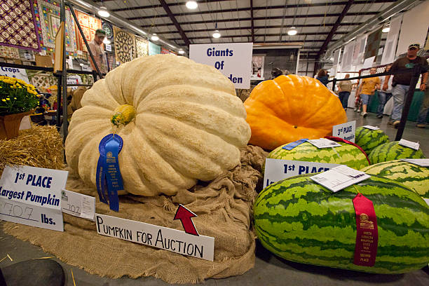 Giant Vegetable Contest Asheville, North Carolina, United States - September 16, 2008: Winners of the 2008 Giants of the Garden competition, A giant vegetable contest held annually at The North Carolina Mountain State Fair, at the Western North Carolina Agricultural Center in Asheville, North Carolina. north carolina us state stock pictures, royalty-free photos & images