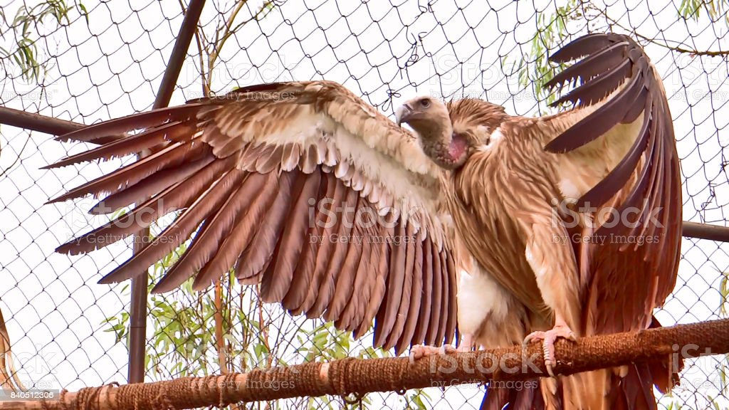 Giant vulture stock photo