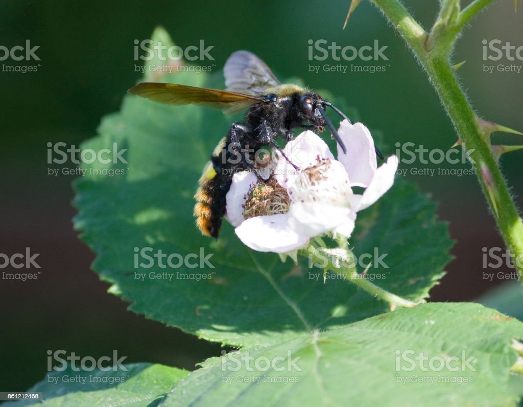 Giant wasp on a flower blackberry (Scolia maculata) royalty-free stock photo