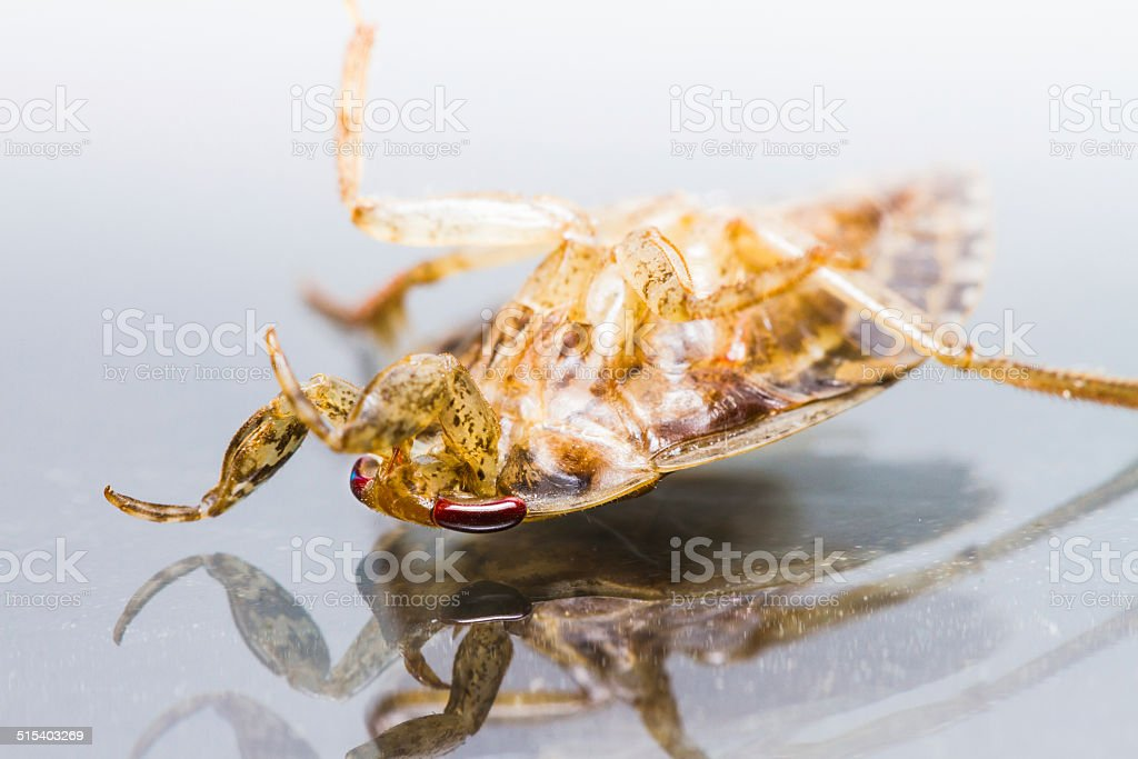 Giant Water Bug die isolated stock photo