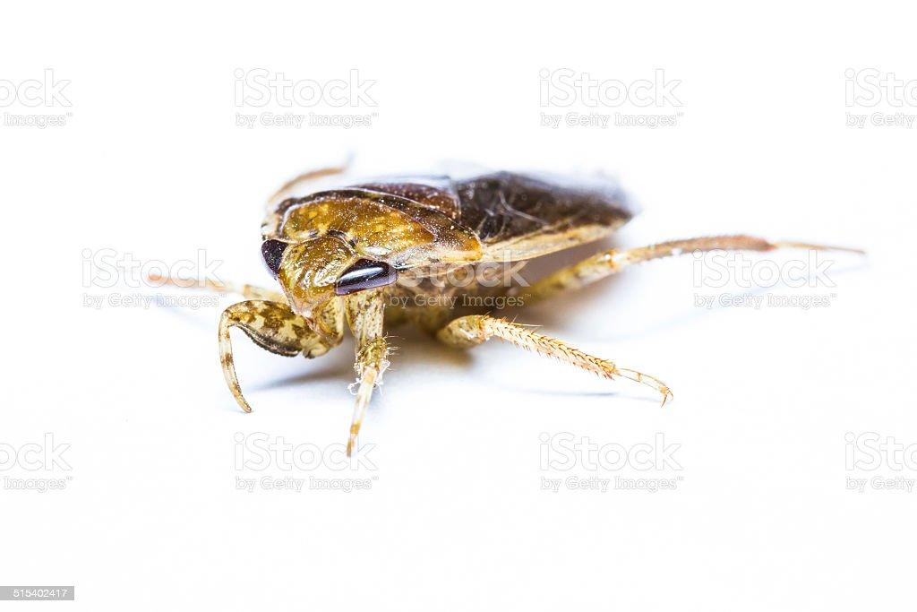 Giant Water Bug isolated stock photo