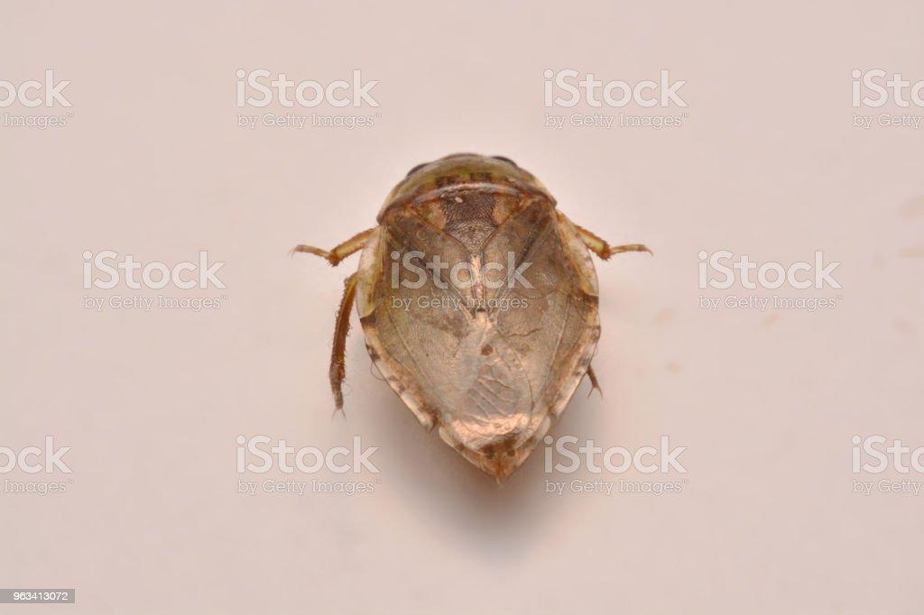 Léthocère nymphe famille Belostomatidae - Photo de Bélostome libre de droits